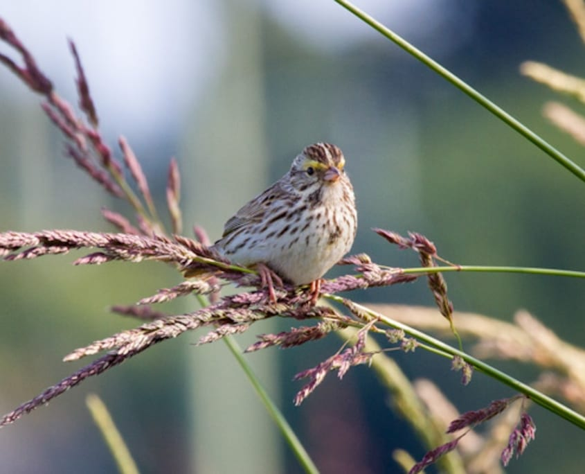 savannah sparrow, sparrow, bird, birds