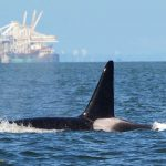 Orca, orcas, british columbia, whale, whales, gary sutton