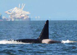 Orca, orcas, british columbia, whale, whales, gary sutton