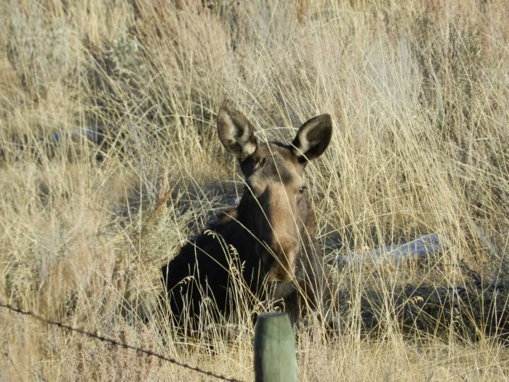 Moose in a valley near Fish Lake, BC