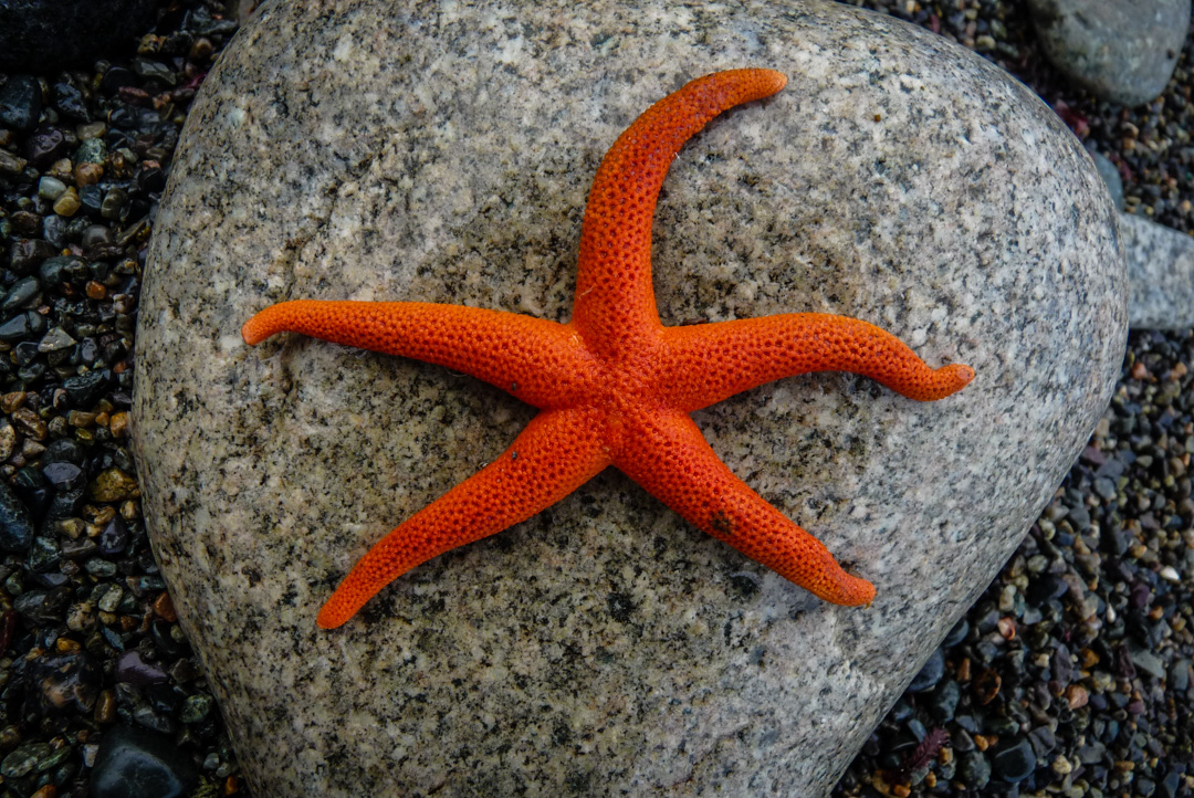A sea star found in an intertidal zone along the West Coast Trail on Vancouver Island.
