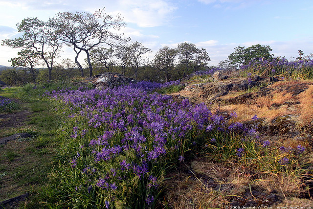 garry oak meadow, garry oak, blue camus