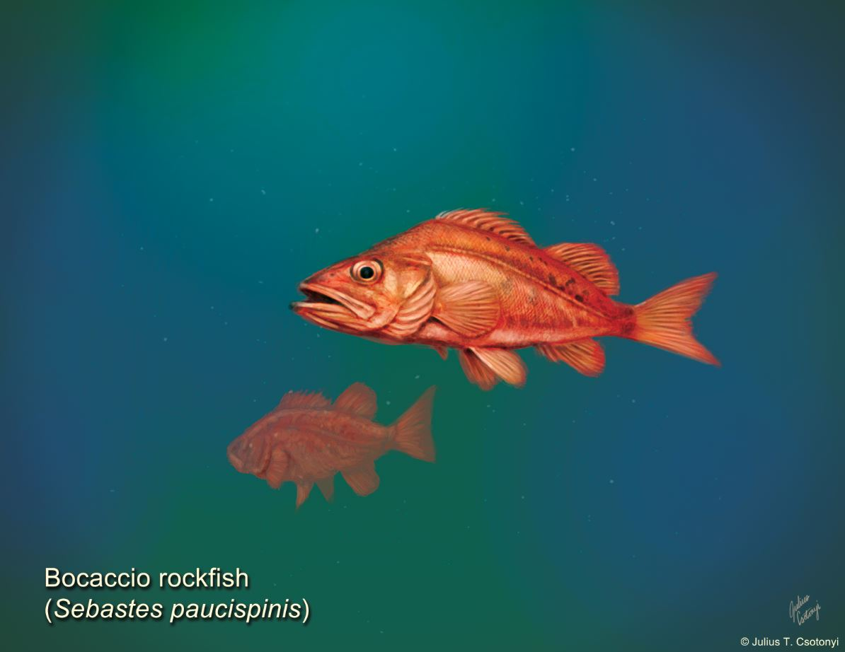 """Bocaccio rockfish illustration by Julius Csotonyi as part of the """"Learn to Draw B.C. Wildlife"""" art lesson series by Sierra Club BC"""