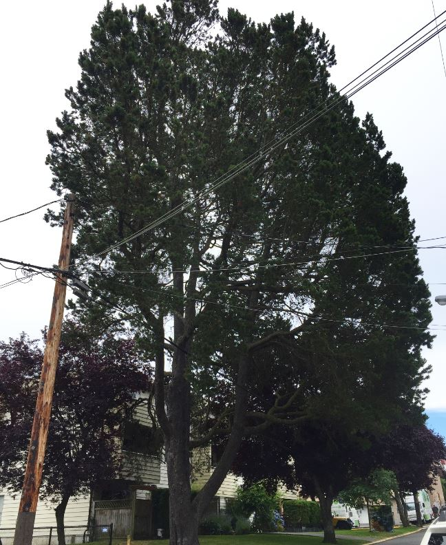 shore pine tree